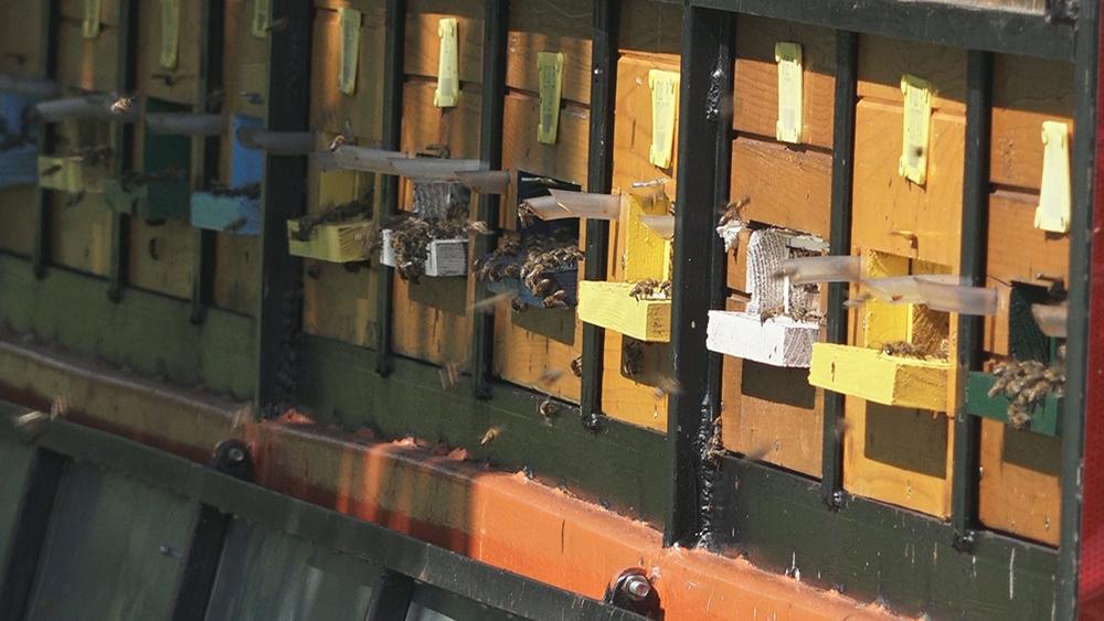 Za pčelare podsticaji po košnici - zahtev može i elektronski 17172
