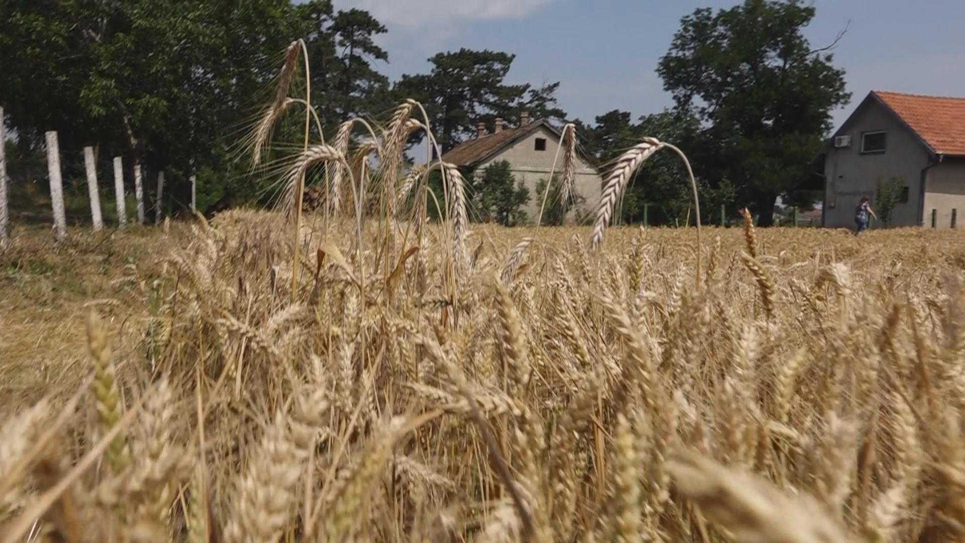 Dobar rod i kvalitet PŠENICE: Poljoprivrednici zadovoljni prinosom, a evo šta kažu za cenu 38806